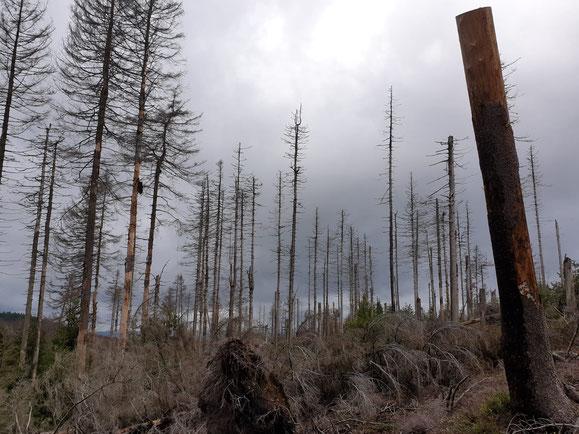 Gegenmodell für die Wiederbewaldung: Nationalpark Bayerischer Wald