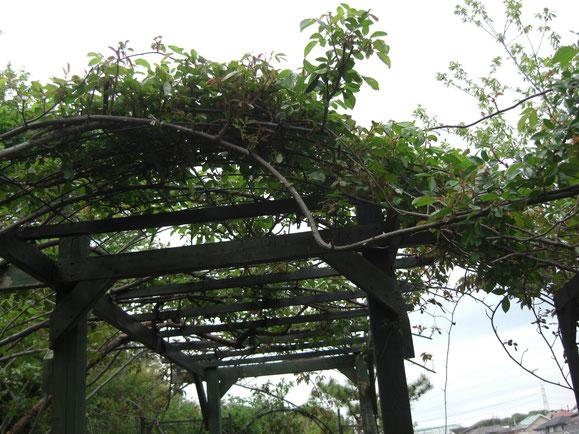 モスカータ、ティーランブラー&F.ジュランビル5月中旬に咲き乱れます