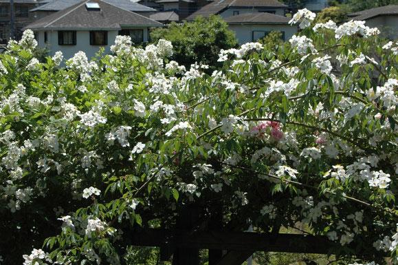 モスカータ&ティーランブラー村田ばら園