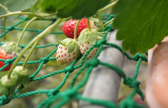 かねとよ川島農園の画像1