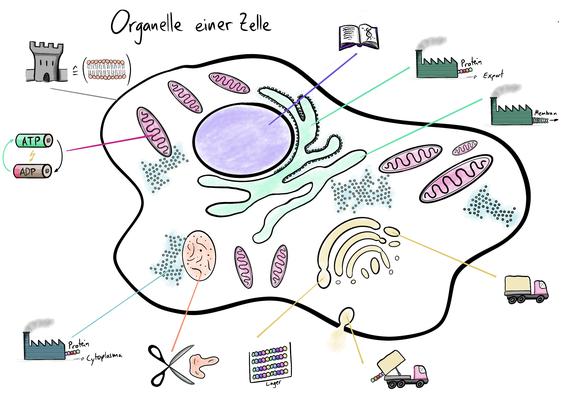 Visualisierung der Organelle einer Zelle die die folgenden Organelle umfassen: Zellkern endoplasmatisches Retikulum, Golgi-Apparat, Vesikel, Ribosom. Mitochondiren, Membran.