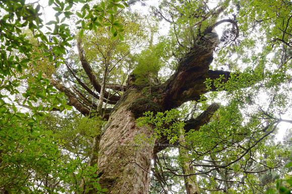 樟の木の大木@花山広場 yu-photographs