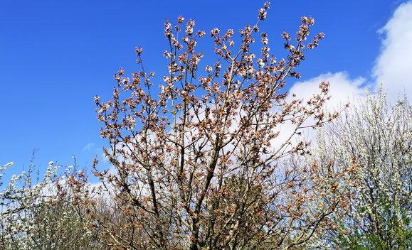 13.04.2020 Beginn der Kirschblüte in Ostfriesland. Links bereits blühende Birnenbaumzweige, rechts blühender Pflaumenbaum!