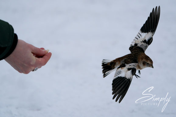 kleiner Iceland-Vogel im Flug