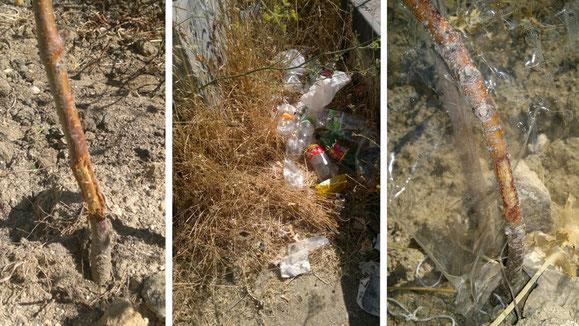 Árboles mordidos por los conejos; restos del botellón y el remedio para conservar los árboles.