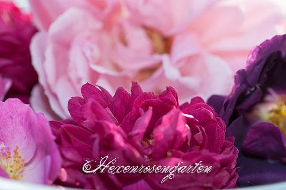 Rosen  Blüte Hexenrosengarten Rosenblog Rhapsody in Blue Rose de Resht