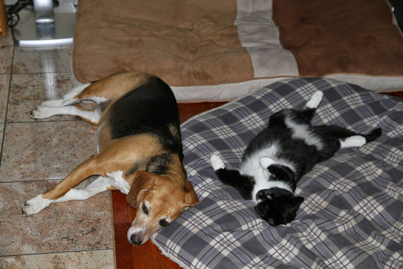Unsere Chefin Beagledame Snoopy mit Lilly