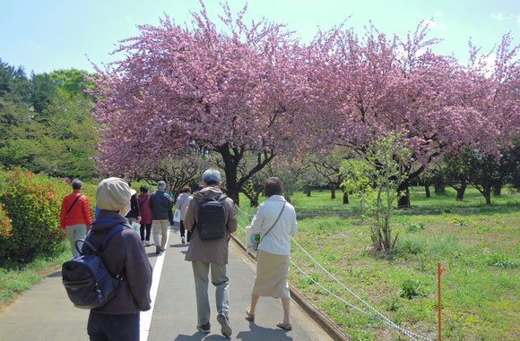 八重桜が満開です。ボランティアの方による散策ガイドに参加しました。