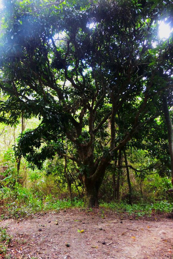 Mangobaum in Shashaland