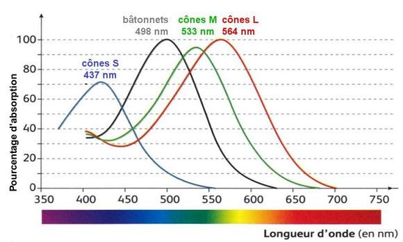 L'absorption des radiations lumineuses par les photoréecpteurs. Source : modifié de SVT, Nathan, 2010 p41.