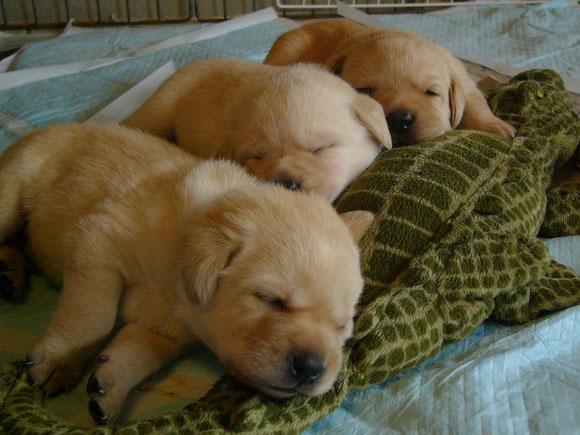男の子3頭 ワニさんを枕に(ソフィーママさんからいただきました!ありがとうございます)