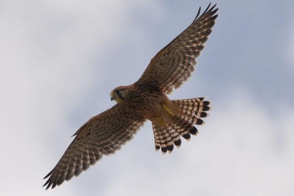 Turmfalke über seinem Nest
