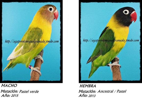 Personatus verde, personata ancestral, green ,agapornismiguelgranada,pastel verde