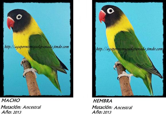Personatus verde, personata ancestral, green ,agapornismiguelgranada,