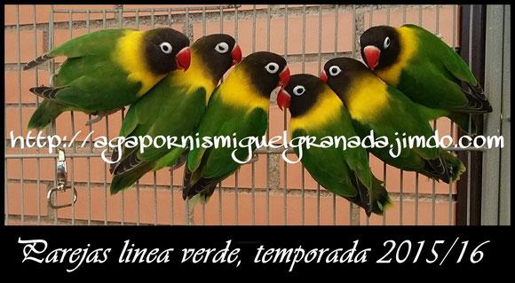 personatus green, personata ancestral verde,personatus cabeza negra, aviario miguel granada