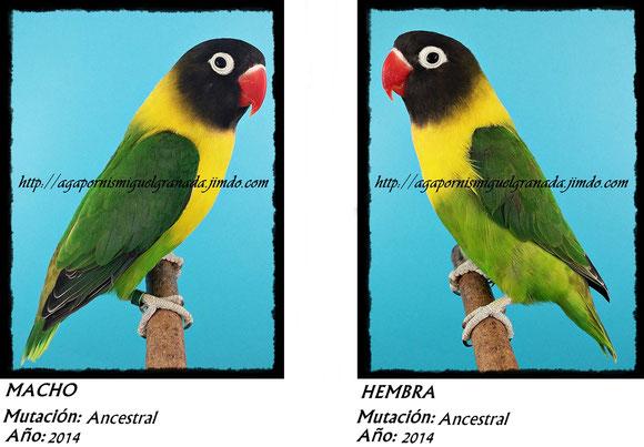 Personatus verde, personata ancestral, green ,agapornismiguelgranada,agapornis