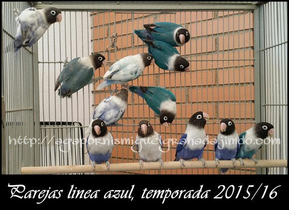 personatus blue, pied dominant, cobalt, violet, azul violeta sf y df,personata arlequine,arlequines,azul,violetas df y sf, aviario miguel granada