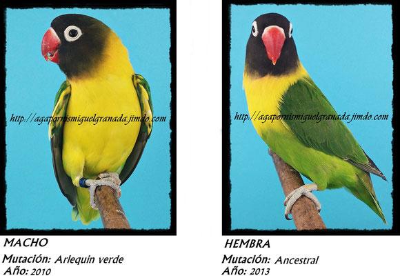 Personatus verde, personata ancestral, green ,agapornismiguelgranada,arlequin verde,pied green and blue