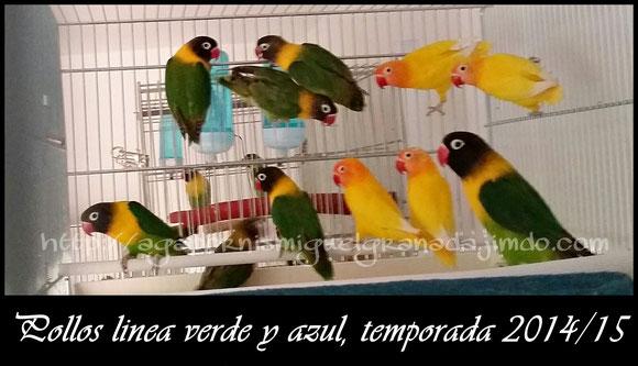 personatas, personata verde, azul, violeta, decino, lutino, arlequin violeta Sf y Df, aviario miguel granadal