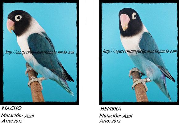 Personatus verde, personata ancestral, green ,agapornismiguelgranada,azul ,blue