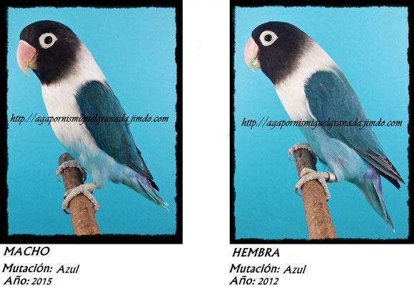 Personatus verde, personata ancestral, green ,agapornismiguelgranada,azul,blue