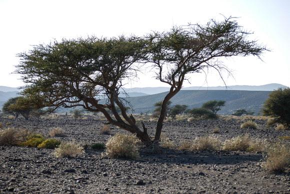 Akazienbäume, immer solitär, als ob sich nur wenige gegen die hungrigen Ziegen behaupten können