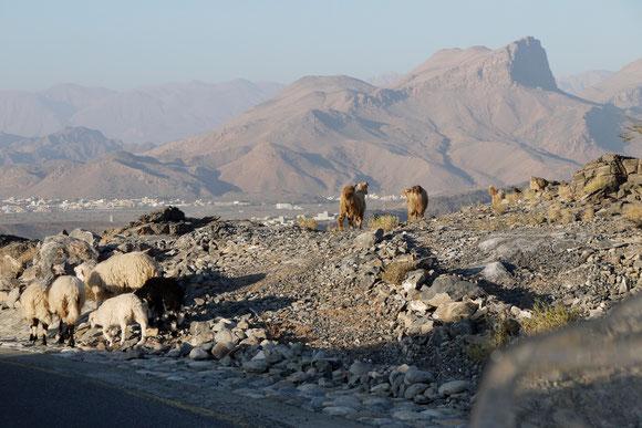 erst einmal abwärts von unserem Höhenrücken in die Senke um Al Hamra. ...