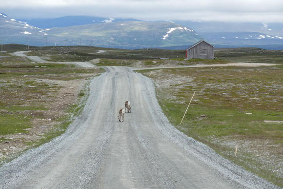 Die Passstrecke Flatruet führt auf über 1000 m Höhe, weshalb bei dem lausigen, kalten Wetter die Rentiere wohl glaubten, dass niemand mehr vorbeikommt.