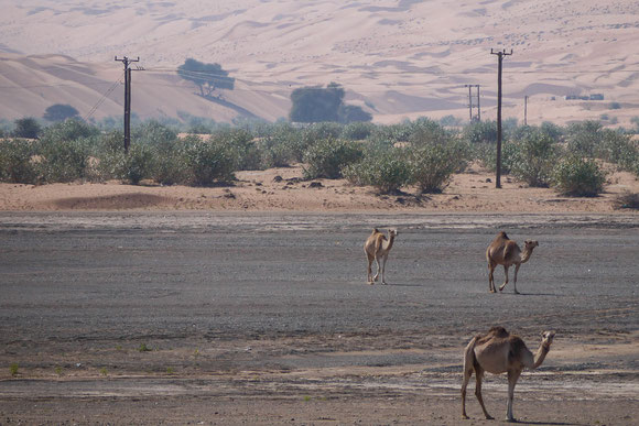 freilaufende Kamele so wie anderenorts die Ziegen, aber die schönere Begegnung mit Kamelen passierte später an einer ganz unerwarteten Stelle