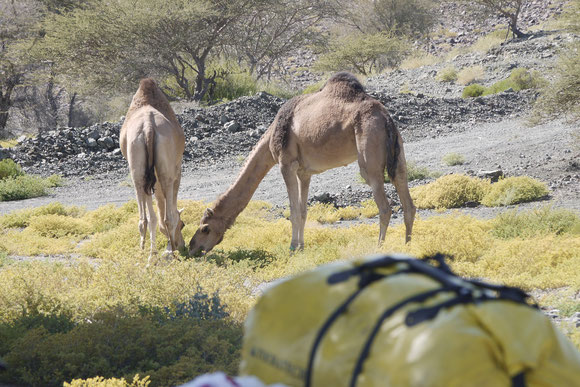der junge Mann gab an, dass sie die Kamele nicht als Lasttiere, sondern wegen ihrer Milch halten, auch wenn sie nicht so häufig ihre Babies haben. Daher trafen wir sie hier in dieser nicht klassisch wüstenartigen Umgebung.