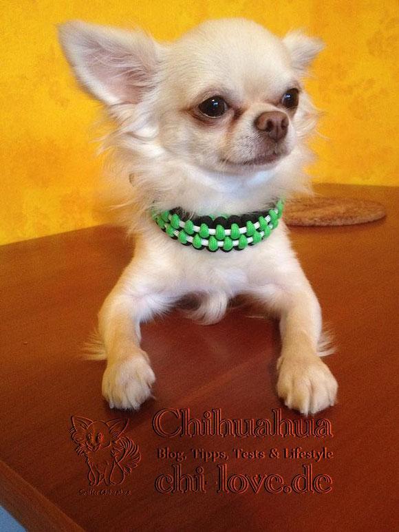 Chico präsentiert Euch sein schickes neues Halsband.