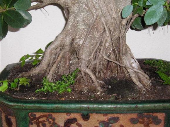 Feigenbaum frankfurter bonsai freunde for Baumarkt hildesheim
