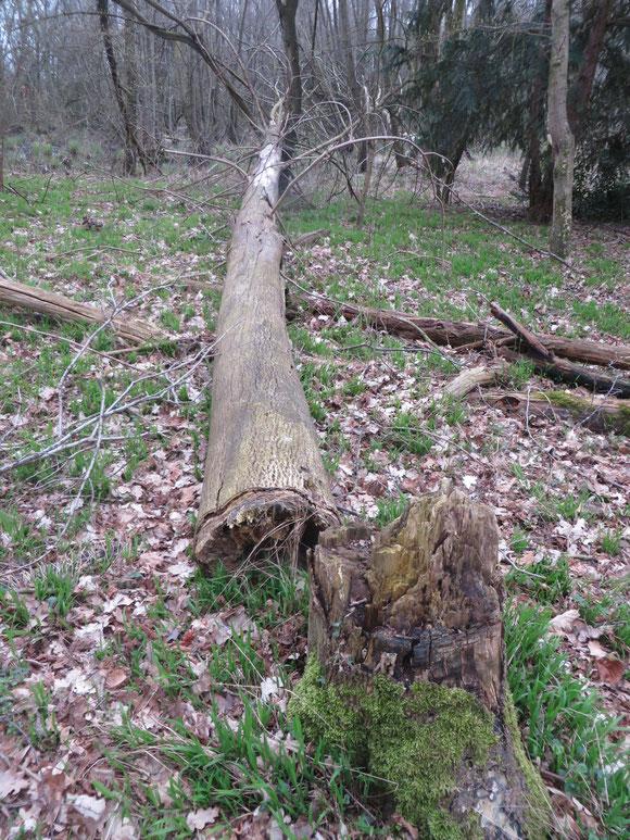 Omgewaaide, geringde boom in het drogere deel van het Adderbroek.