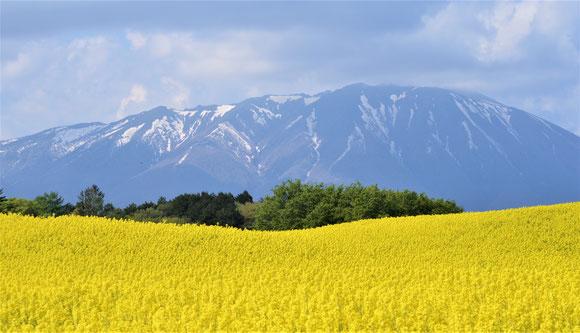 5/17 娘との親子遠足(いちご狩り)の後、プチドライブにて。菜の花畑@小岩井農場