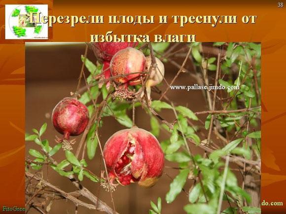 Гранат  карликовый (декоративный) плоды перезрели и треснули