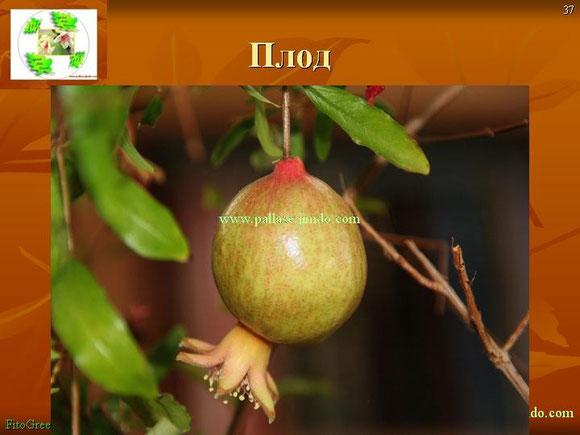 плод Гранат  карликовый (декоративный)