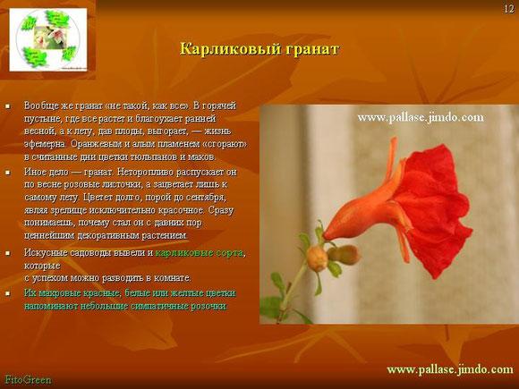 Гранат  карликовый (декоративный)