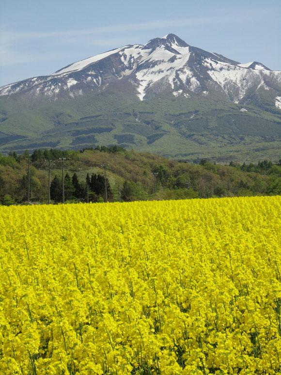 鯵ヶ沢山田の付近・菜の花と岩木山