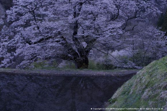 ★ 駒繋ぎの桜 2918 夕暮れの自然光の中で ★ Photographer ToshihiroMiura