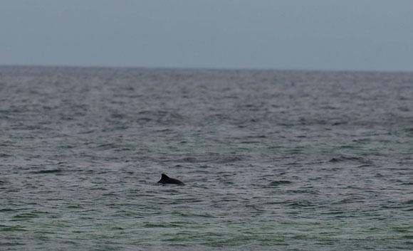 mal Schwein haben,  Schweinswal in der Ostsee