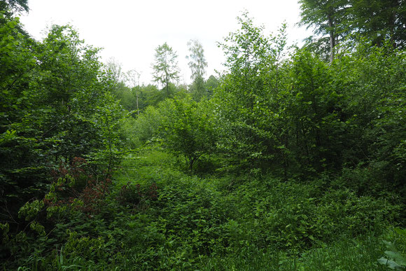 Erlenpflanzung in Gresenhorst ist nach 5 Jahren ist ein kleiner Wald entstanden Sommer 2018