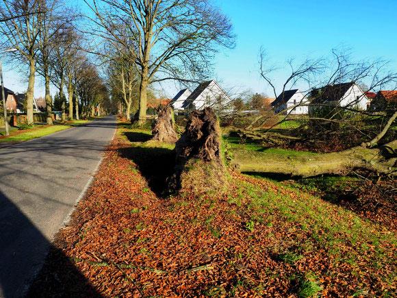 Windwurf einer ganzen Allee Oktober 2017, nach Dauerregen und Bodenaufweichung in Linum, Nord Brandenburg