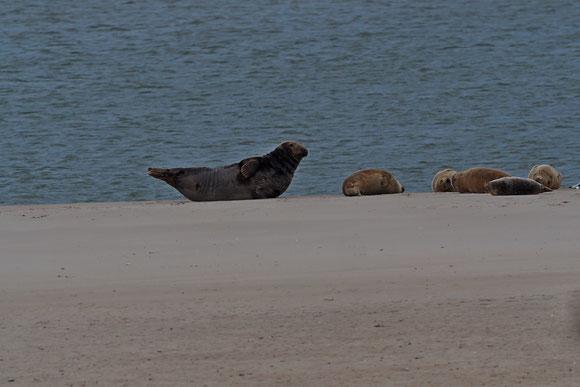 Mal an den Strand robben,  Seehund und Kegelrobbe am Strand vom Watt
