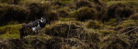 Kiebitzen auf der Wiese, Foto Paul Reichelt