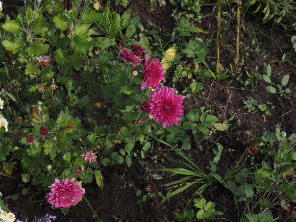 """Winteraster """"Gartenmeister Vegelahn"""" Chrysanthemum hortorum Gartenmeister Vegelahn"""