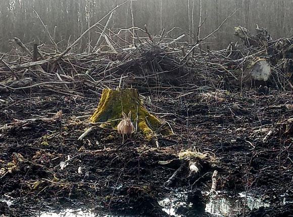 Hase beobachtet das Pflanzen in seinen Wald.