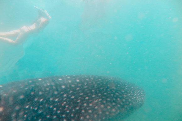 Schnorcheln mit großen Walhaien in Donsol