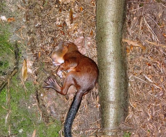 Notfall auf dem Weg nach Köflach. Was ist wohl aus dem heruntergefallenen Eichhörnchen geworden. Ich hoffe die Mutter hat es wieder abgeholt
