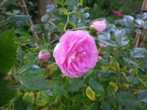 Ich freu mich über die ersten Rosenblüten. Bei uns ist ja alles später dran.