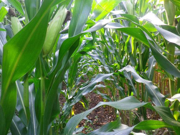 Der Weg geht mitten durchs Maisfeld